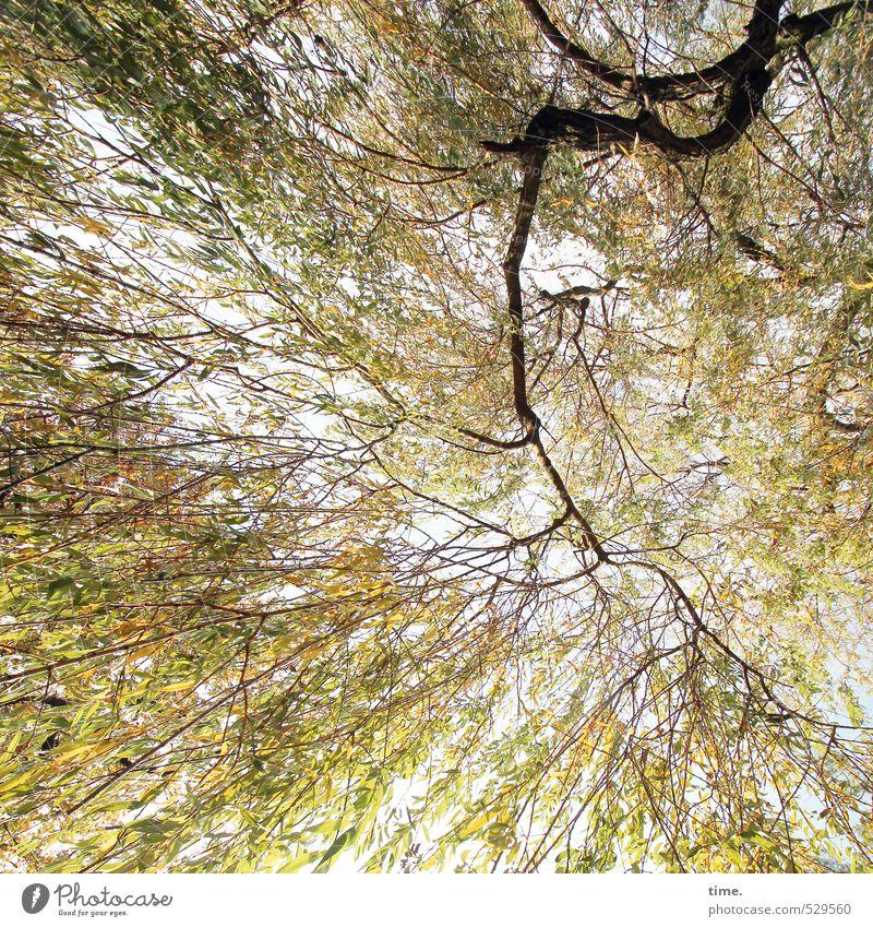 Pflanze |Listen To My Heartbeat Umwelt Natur Herbst Schönes Wetter Baum Blatt Ast Trauerweide Blätterdach Park hängen Gefühle Zufriedenheit Kraft Willensstärke
