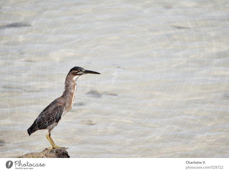 Hab-Acht-Stellung Natur schön weiß Wasser Meer Tier gelb grau Stein braun Vogel Kraft elegant sitzen Wildtier warten