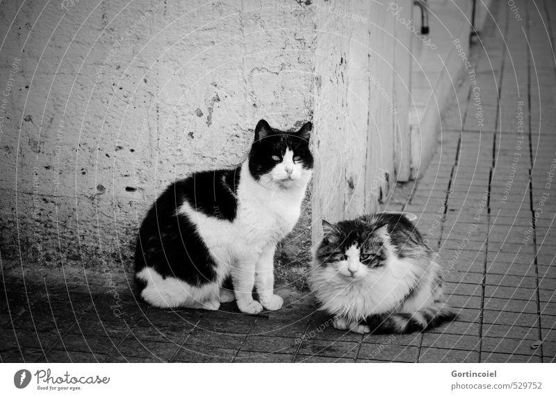 Kediler Stadt Mauer Wand Tier Katze Tiergesicht Fell 2 Tierpaar warten Straßenkatze Istanbul Herumtreiben Schwarzweißfoto Außenaufnahme Textfreiraum links