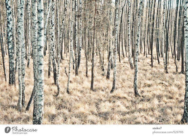 artfremd Natur weiß Baum Einsamkeit schwarz Winter kalt Wald Herbst braun Perspektive Vergänglichkeit einzigartig Symmetrie Birke Birkenwald