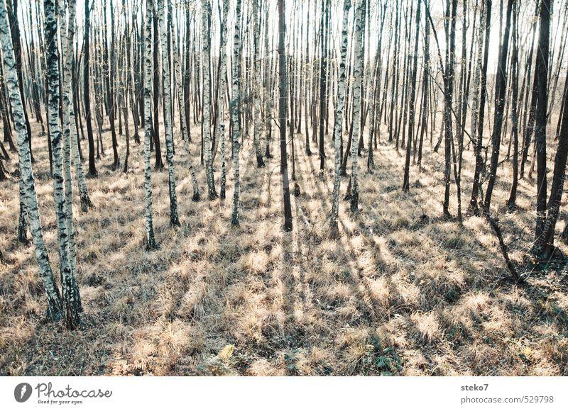 Wald der langen Schatten Herbst Gras trist braun gelb weiß Birkenwald Baumstamm karg Gedeckte Farben Außenaufnahme Menschenleer Sonnenlicht Gegenlicht