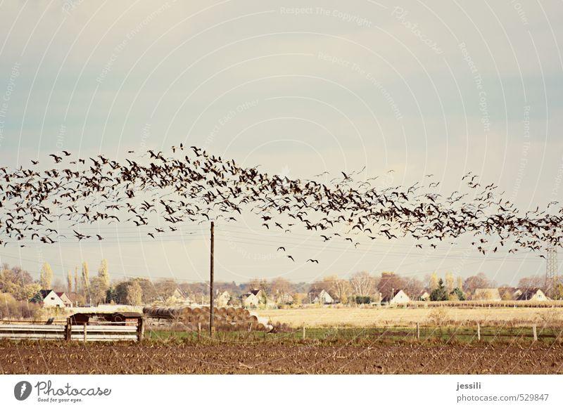 Welle machen Umwelt Landschaft Tier Erde Himmel Herbst Schönes Wetter Wind Nutzpflanze Feld Wildtier Vogel Schwarm beobachten fliegen braun gelb Gefühle