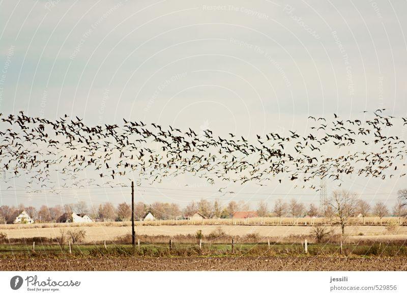 Strom Landschaft Tier Erde Himmel Herbst Wind Nutzpflanze Feld Dorf Haus Vogel Schwarm Netzwerk rennen fliegen einfach braun gelb Mitgefühl Solidarität