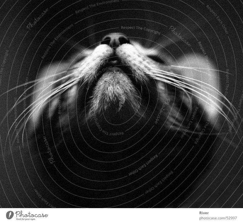Salem Katze Schwarzweißfoto