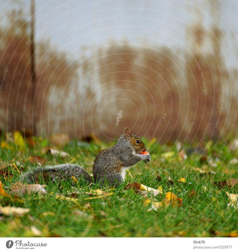 Leckerbissen Frucht Apfel Natur Herbst Gras Blatt Herbstlaub Wiese Montreal Kanada Mauer Wand Tier Eichhörnchen Nagetiere 1 Stahl Rost Essen Fressen hocken