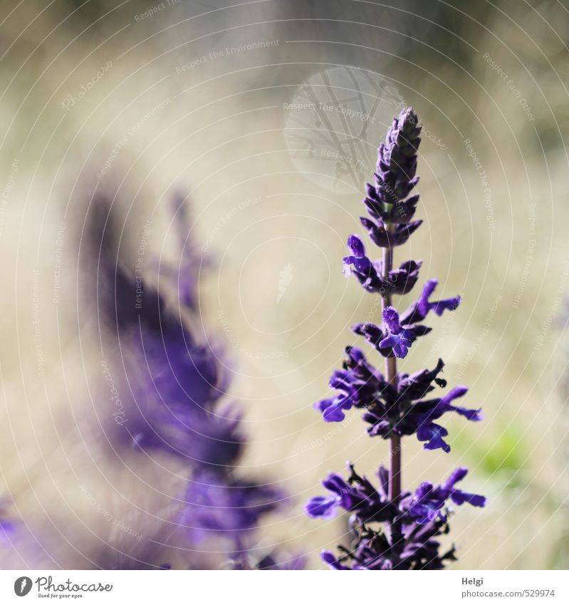 Katzenminze Umwelt Natur Pflanze Sommer Blume Blüte Garten Blühend stehen Wachstum ästhetisch schön natürlich grau grün violett standhaft einzigartig Leben
