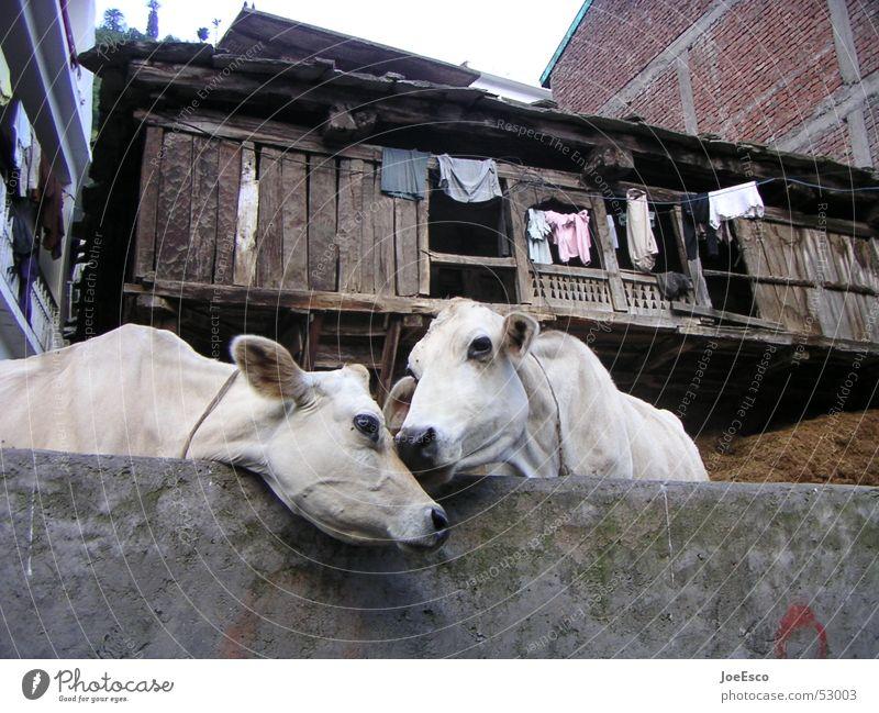 manali cows loving each other harmonisch Ferne Umwelt Tier Kuh Tierpaar Küssen Liebe Zusammensein Idylle Zuneigung Indien Manali Rind Vieh paarweise Kuhdorf