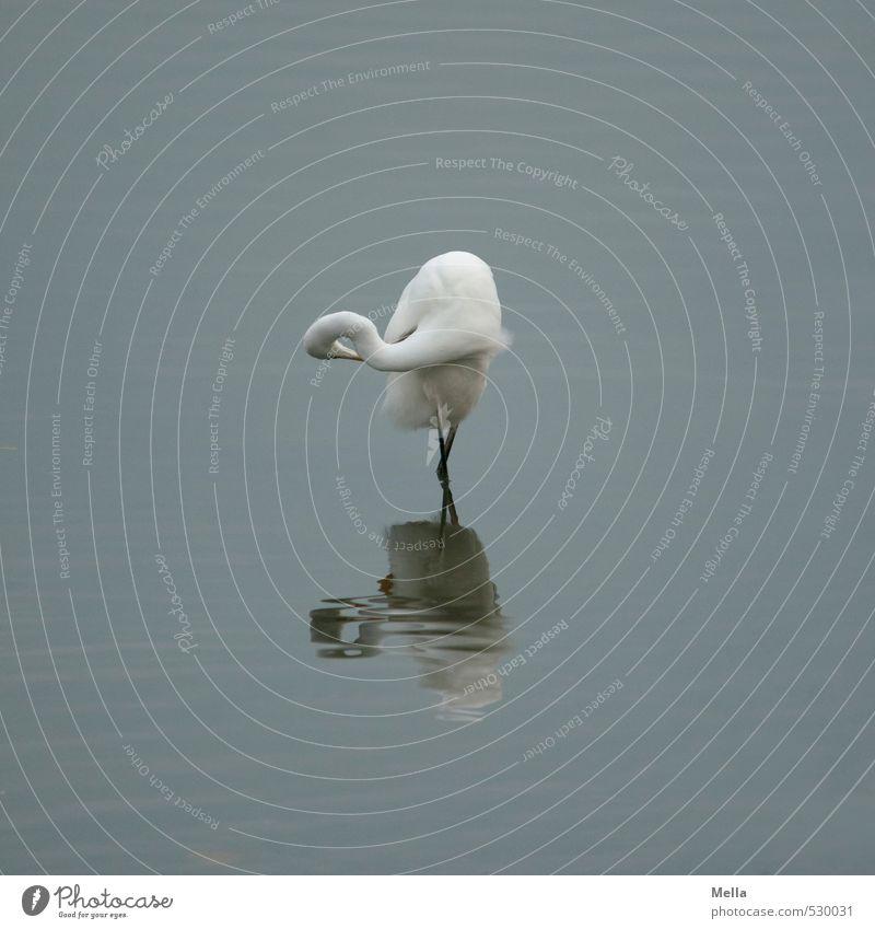 ballet dancer Umwelt Natur Tier Wasser Teich See Wildtier Vogel Reiher Silberreiher 1 Reinigen stehen natürlich trist blau grau ruhig verrenken drehen biegen