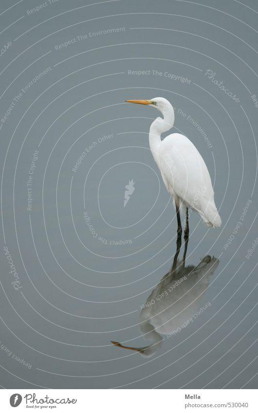Ich bin ich Umwelt Natur Tier Wasser Teich See Wildtier Vogel Reiher Silberreiher 1 Blick stehen warten natürlich trist ruhig Stolz Watvögel