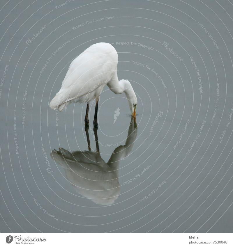 Hab' Dich! Umwelt Natur Tier Wasser Teich See Wildtier Vogel Reiher Silberreiher 1 fangen stehen natürlich trist grau tauchen Reflexion & Spiegelung Farbfoto