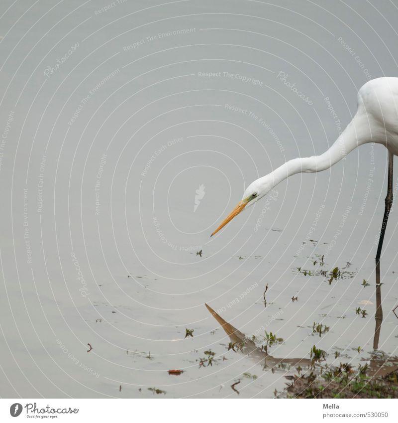 Suchen Umwelt Natur Tier Wasser See Wildtier Reiher Silberreiher Hals Schnabel 1 Jagd Blick lang natürlich trist grau geduldig zielen fixieren Farbfoto