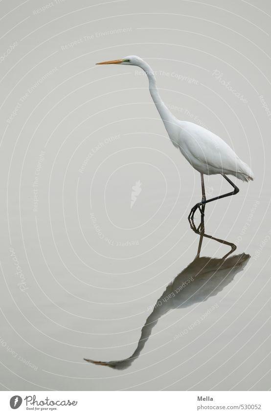 Schmidtchen Schleicher Umwelt Natur Tier Wasser Teich See Wildtier Vogel Reiher Silberreiher 1 gehen Blick stehen dünn lang natürlich trist grau weiß schreiten