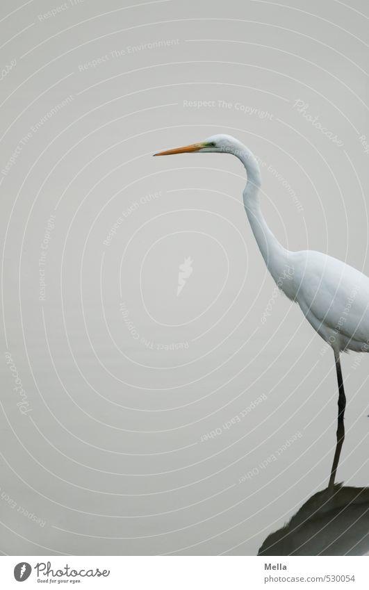 Moin Umwelt Natur Tier Wasser Teich See Wildtier Vogel Reiher Silberreiher 1 Blick stehen dünn lang natürlich trist grau weiß Watvögel schreiten Farbfoto