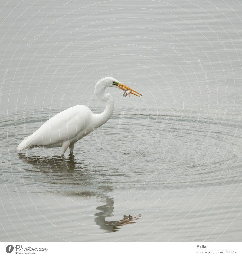 Na Mahlzeit! Umwelt Natur Tier Wasser Teich See Wildtier Vogel Reiher Silberreiher 1 fangen Fressen stehen natürlich grau Appetit & Hunger Überleben Beute