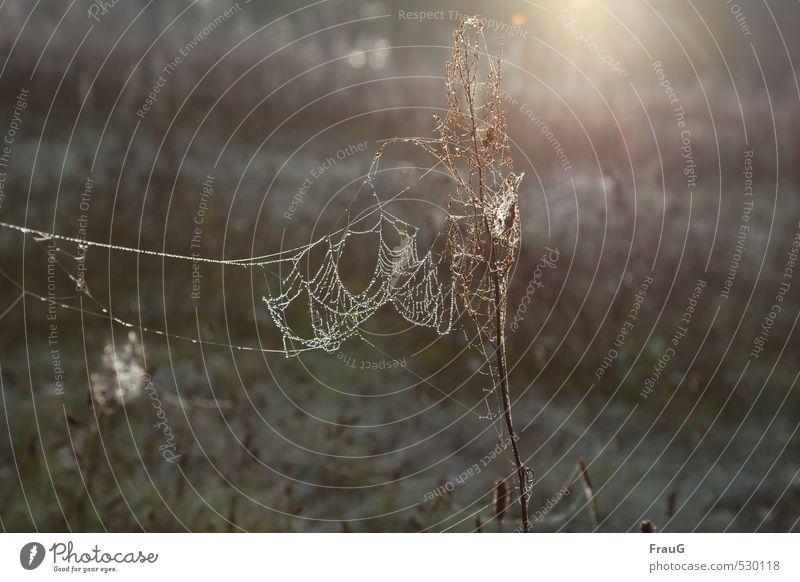 im Netz Natur Wassertropfen Sonne Herbst Pflanze Wildpflanze Wiese ästhetisch Spinnennetz Tau filigran Lichtschein Farbfoto Außenaufnahme Morgen Gegenlicht