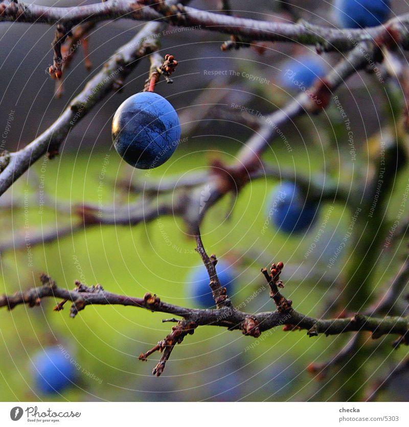 schleen grün Sträucher Schleen Natur blau Zweig Frucht