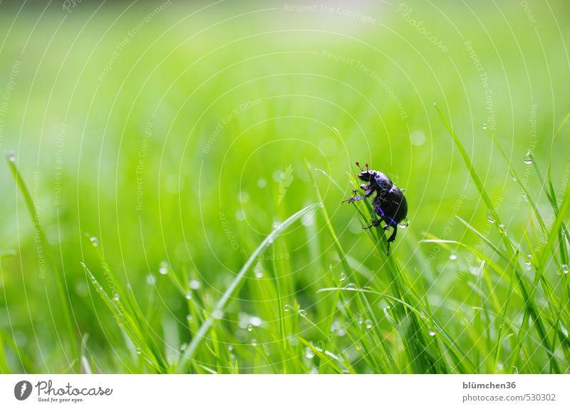 Sackgasse Tier Käfer Insekt Waldmistkäfer Mistkäfer 1 krabbeln laufen natürlich rund blau grün Lebensfreude Frühlingsgefühle Optimismus Neugier Leichtigkeit