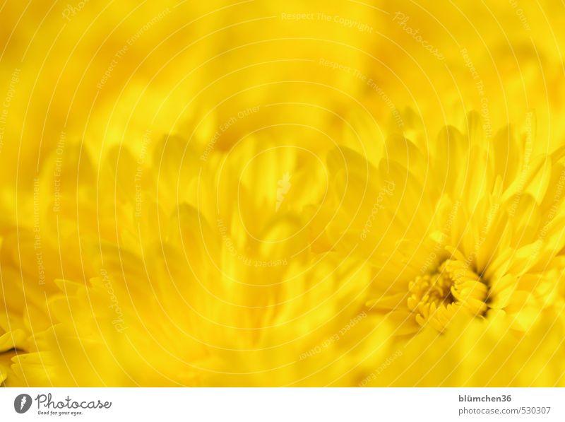 Pflanze | GELB schön Farbe Sommer Blume gelb Liebe Herbst Blüte natürlich Stimmung glänzend elegant leuchten frisch einfach