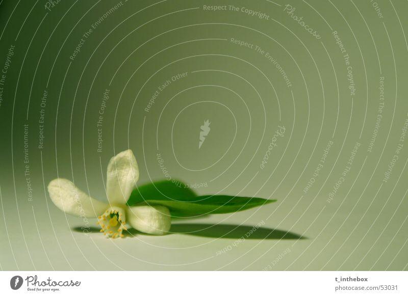 Little Flower Makroaufnahme einfach flower small leaf white dark bright alone