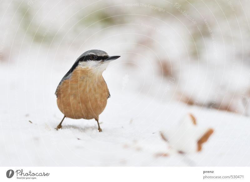 weihnachtlicher Kleiber Umwelt Natur Tier Winter Schnee Wildtier Vogel 1 niedlich braun weiß Weihnachten & Advent Zimtstern Farbfoto Außenaufnahme Experiment