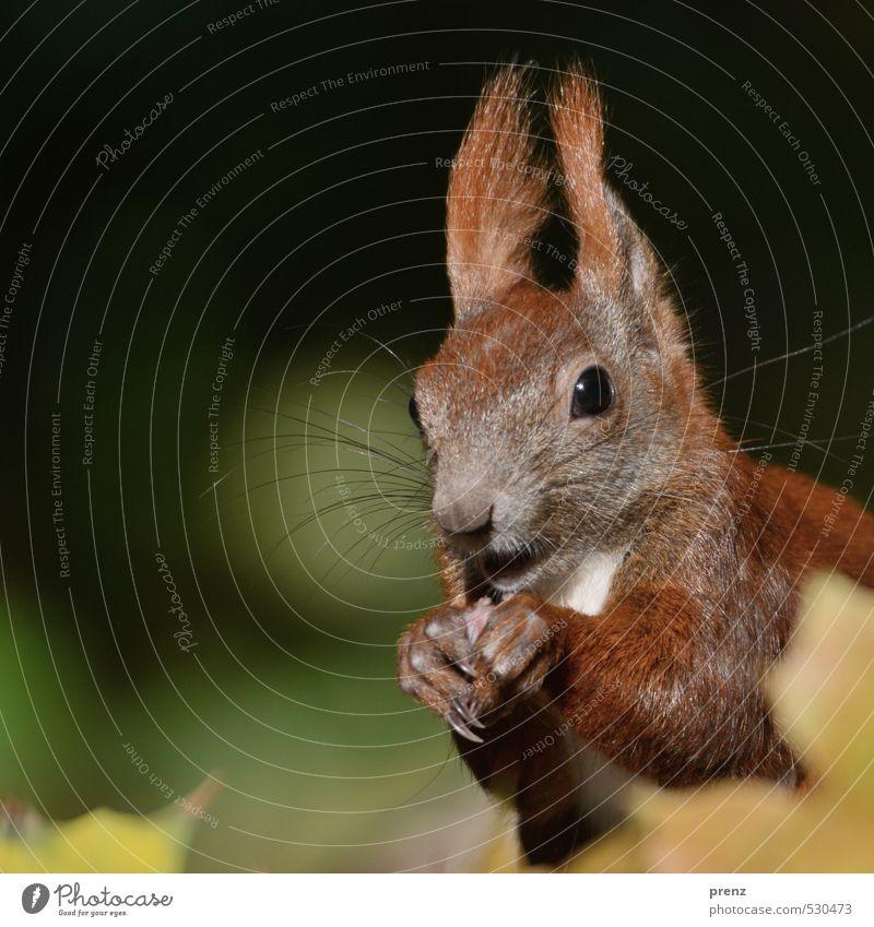 Portrait Umwelt Natur Tier Herbst Schönes Wetter braun grün Eichhörnchen Kopf Farbfoto Außenaufnahme Menschenleer Textfreiraum links Tag Schwache Tiefenschärfe