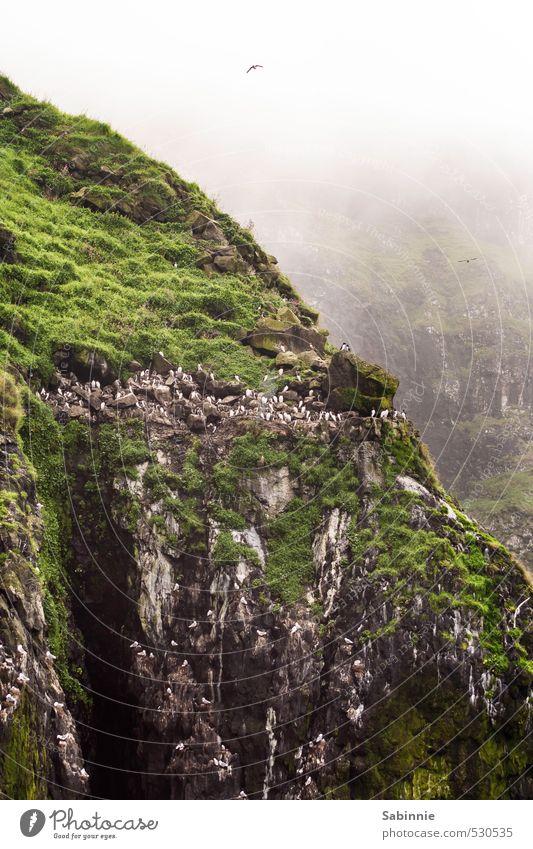 [Skye 18] Vogelkolonie Natur grün Pflanze Umwelt Küste Felsen fliegen Nebel Wildtier Tierpaar Schönes Wetter Flügel Möwe Moos Klimawandel