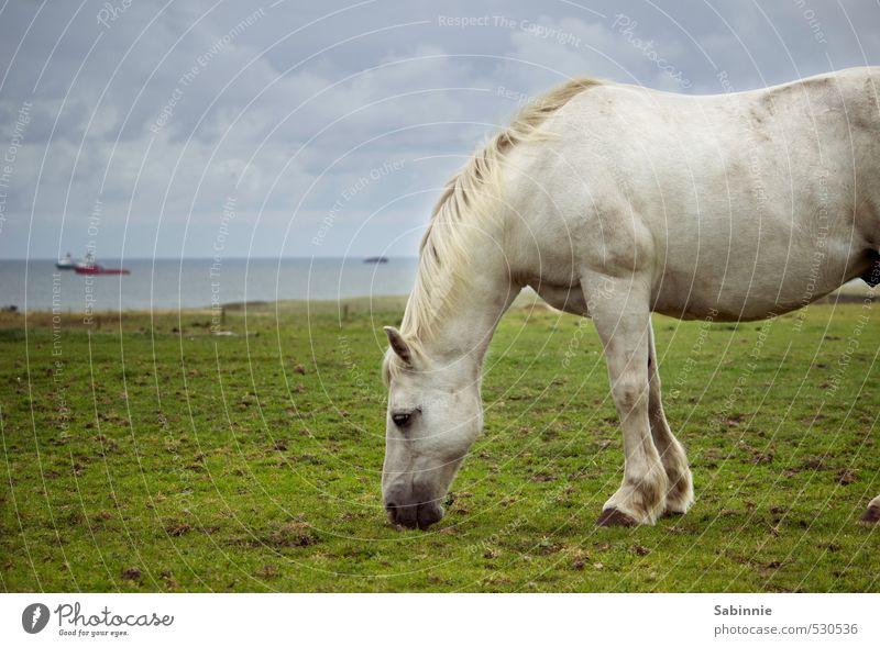 Schimmelig Umwelt Natur Pflanze Gras Wiese Küste Tier Haustier Nutztier Pferd Mähne Ohr Huf 1 Fressen blau grün weiß Wachsamkeit Erholung Fellfarbe Farbfoto