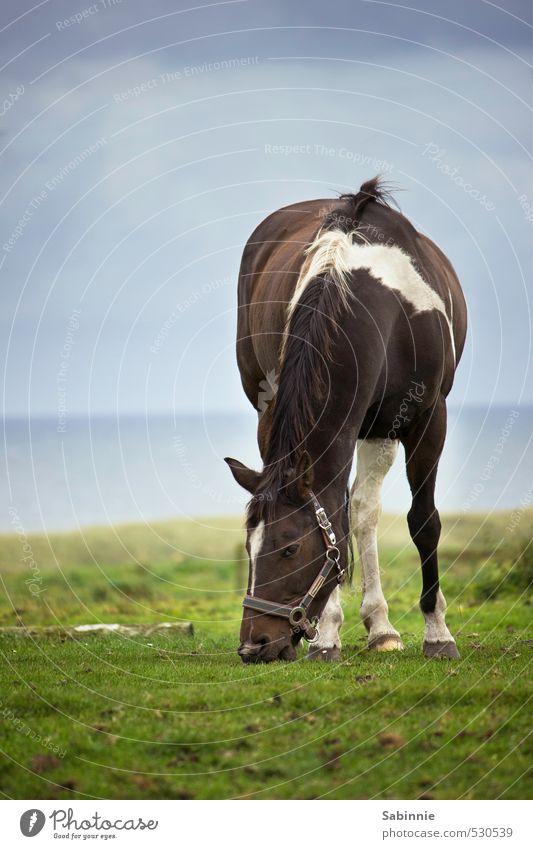 Mamp mampf Umwelt Natur Himmel Wolken Gras Wiese Küste Tier Haustier Nutztier Pferd Tiergesicht Halfter Huf Mähne 1 Fressen blau braun grün rupfen Wachsamkeit
