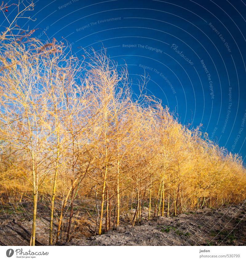 kraut ohne rüben. Landwirtschaft Forstwirtschaft Umwelt Natur Pflanze Erde Sand Himmel Wolkenloser Himmel Herbst Sträucher Nutzpflanze Feld leuchten blau