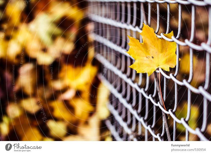 leaf at wire Natur Pflanze Erde Herbst Blatt Ahorn Garten Maschendrahtzaun Metall verblüht alt eckig hoch trist unten gelb Einsamkeit Tod Trauer Traurigkeit