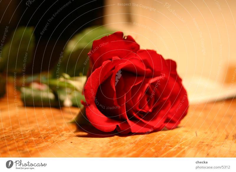 Rose schön rot Blume Blüte Freizeit & Hobby Rose Blühend Lebensfreude Begierde Valentinstag