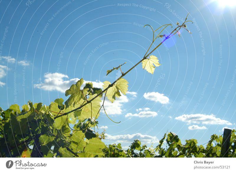 Der Sonne entgegen Himmel Sonne Wolken Wachstum Wein Ranke Weinberg Franken Weinbau