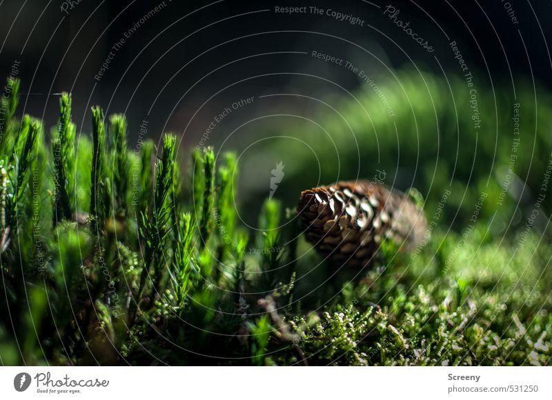 Zapfenstreich Natur Pflanze Erde Herbst Moos Wildpflanze Wald Vorsicht Gelassenheit geduldig ruhig Farbfoto Außenaufnahme Makroaufnahme Menschenleer
