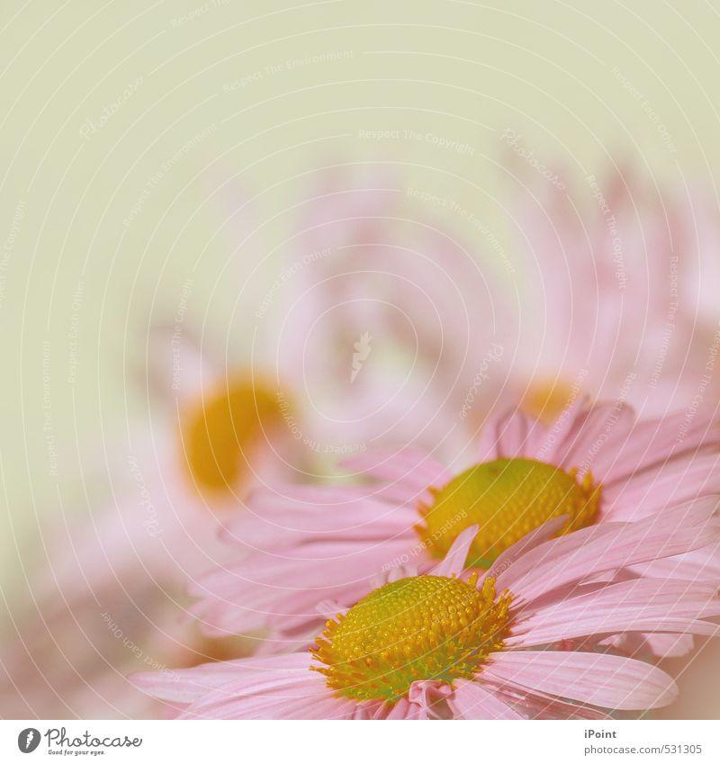 ~ Zarter Hauch von Frühling ~ Pflanze Blume Blüte gleich Inspiration Leichtigkeit schön bezaubernd Eyecatcher blumengruß Farbfoto Außenaufnahme Detailaufnahme