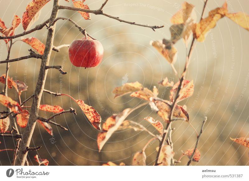 Herbstapfel Frucht Apfel Natur Pflanze Baum Blatt Nutzpflanze braun gold orange Nostalgie Verfall Gedeckte Farben Außenaufnahme Detailaufnahme Abend