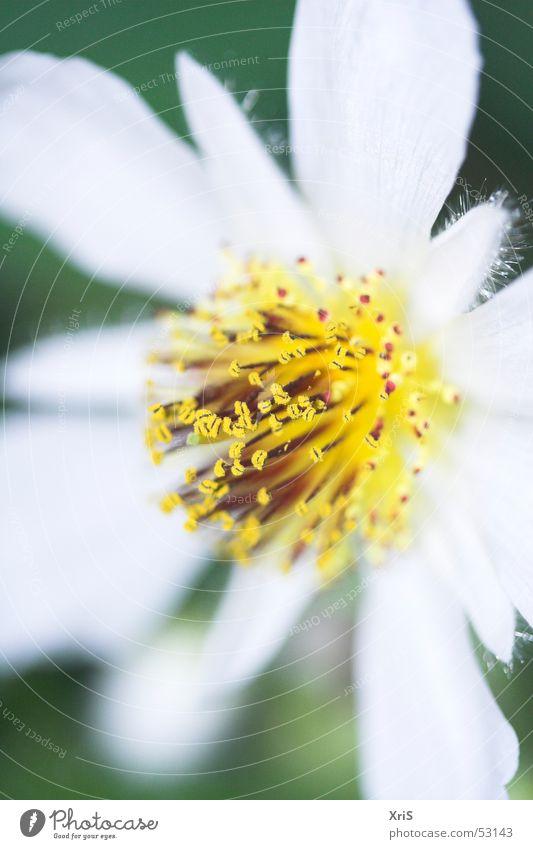 Zimmerlinde Linde Blüte gelb Tiefenschärfe Makroaufnahme