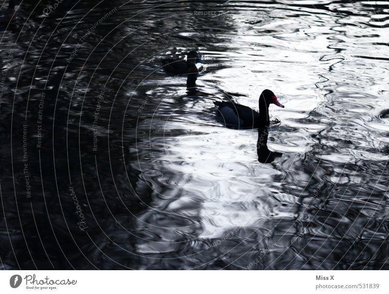 Enten im Mondschein Wasser Küste Seeufer Teich Tier Vogel 2 Tierpaar Schwimmen & Baden dunkel Wellen Entenvögel Nachtaufnahme Farbfoto Gedeckte Farben