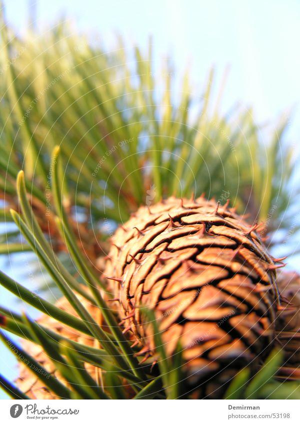 Zapfen grün Baum Tannennadel Sonne Himmel
