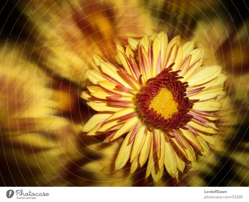 Feuerblume Blüte abstrakt Comic gelb rot Sommer Blume Unschärfe Brand Flamme