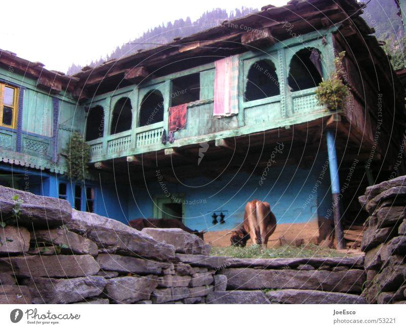 manali cow blau schön Ferien & Urlaub & Reisen ruhig Haus Ferne Farbe Wand Mauer Ausflug Perspektive Wildtier Reisefotografie Asien Idylle Hut