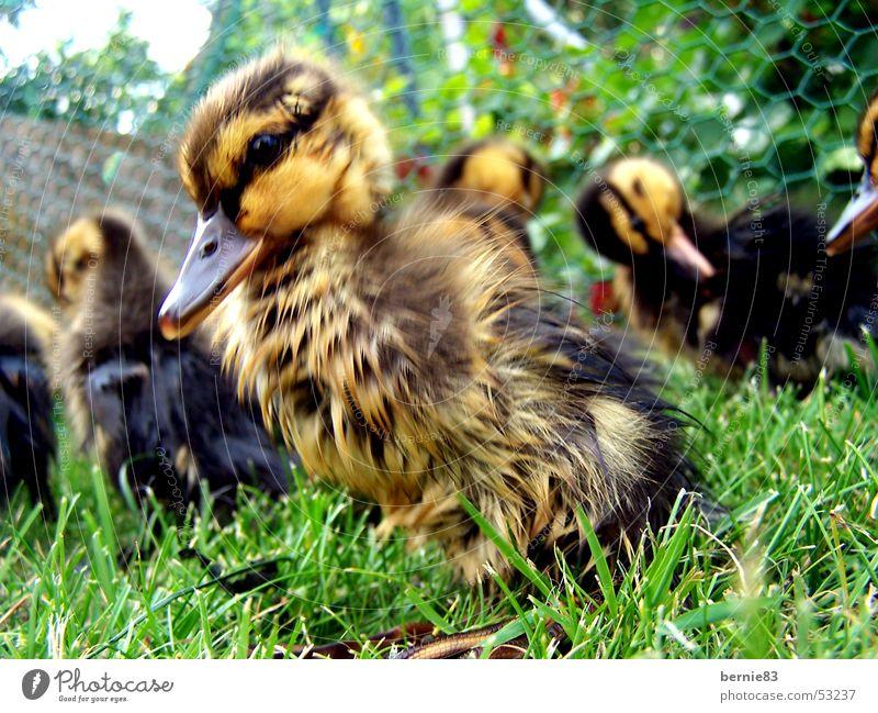 Junge Ente Küken Tier Entenfamilie hilflos Schnabel braun gelb grün Wiese Frühling Freizeit & Hobby Natur Arme duck young animal pet helpless brown