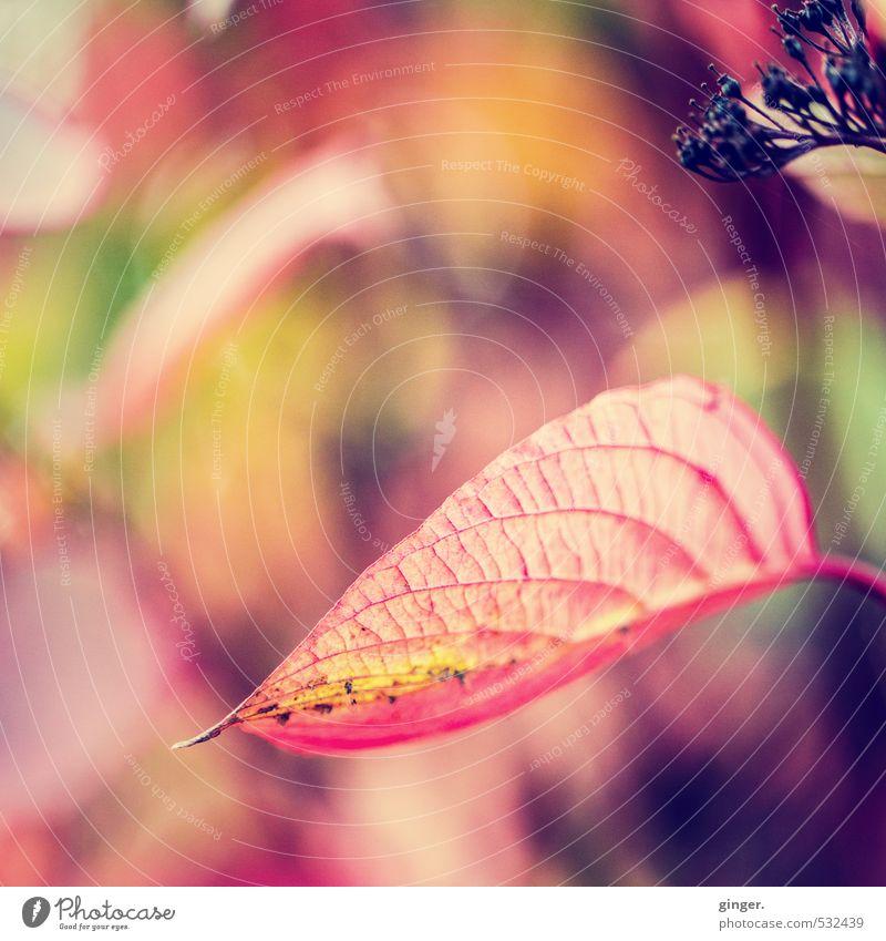 Herbstkontraste Natur grün Pflanze rot Blatt schwarz gelb Herbst Tod Blüte Sträucher Schönes Wetter Jahreszeiten Ende Herbstfärbung Blattadern