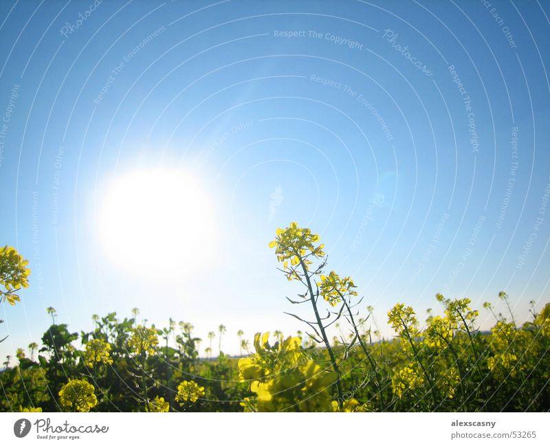 Blumenwiese Sonne Sommer Wiese Blauer Himmel