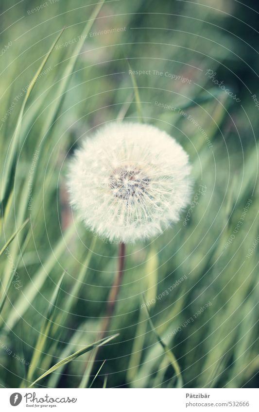 Pusteblume grün Pflanze Sommer Frühling Garten Wachstum rund Löwenzahn Leichtigkeit