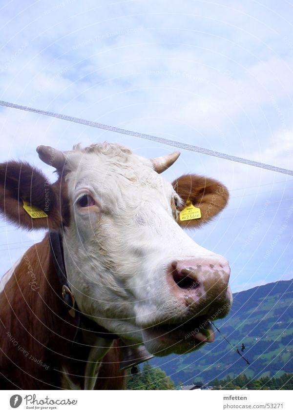 Tiroler Wiederkäuer Kuh Bundesland Tirol Österreich Tier Gras Fressen Auge Nase Blick Ohr Horn