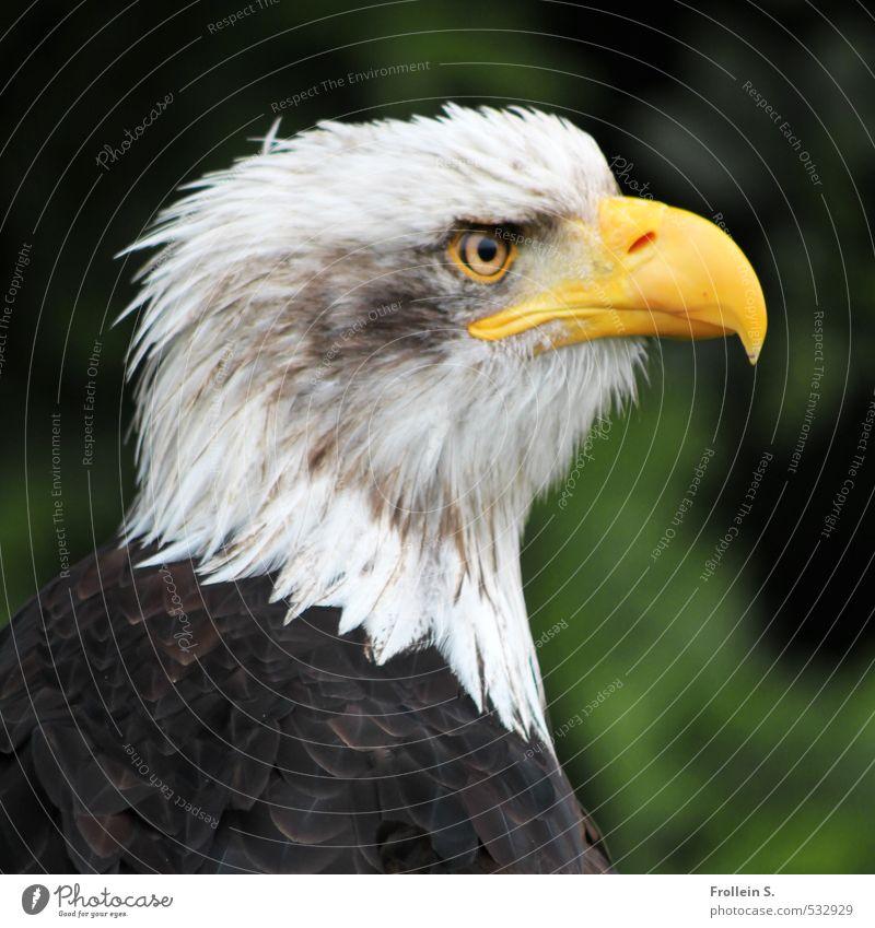 Pleitegeier? Tier Vogel Greifvogel Seeadler Schnabel Feder Auge Kopf Weisskopfseeadler 1 braun gelb weiß Mut Wachsamkeit Stolz Adler Farbfoto Außenaufnahme Tag
