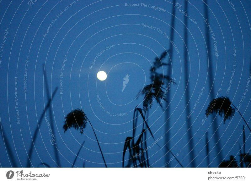 schilfmond Schilfrohr Nacht See Mond Abend