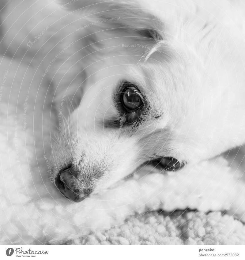 tagträumerin Haustier Hund 1 Tier alt liegen träumen hell schön Fell Auge wach tiefgründig unergründlich schlafen Schwarzweißfoto Innenaufnahme Nahaufnahme