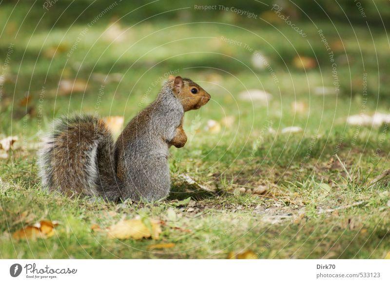 Da spielt die Musik => Tier Sonnenlicht Herbst Schönes Wetter Gras Blatt Herbstlaub Garten Park Wiese Kanada Wildtier Eichhörnchen 1 beobachten Blick stehen