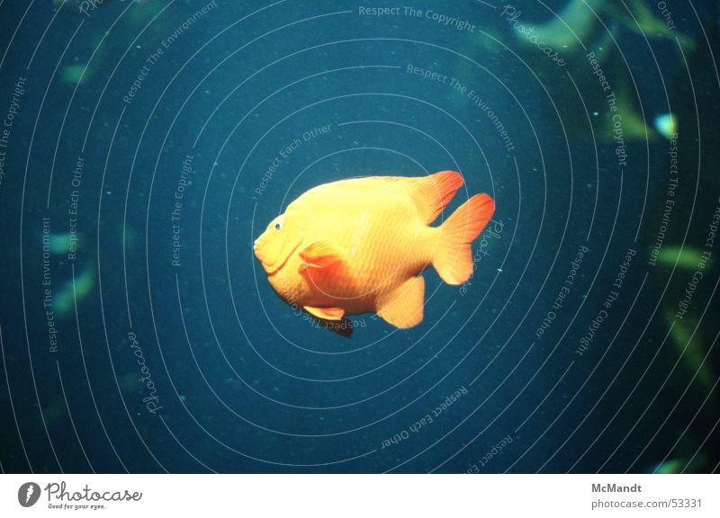 Fisch Wasser Meer blau gelb USA Aquarium Kalifornien
